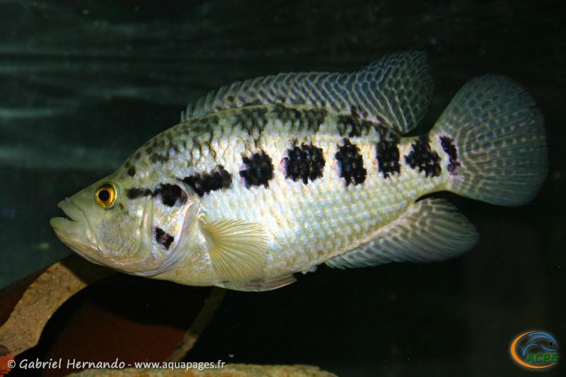 Parachromis managuensis (2004) - Cichlidae