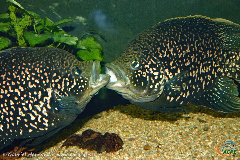 """Paratilapia sp. """"andapa"""" (2005) - Cichlidae"""
