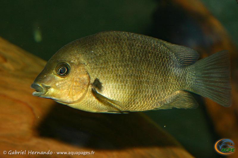 Paretroplus damii (2009) - Cichlidae