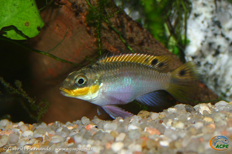 "Pelvicachromis taeniatus ""Red Nigeria"" (2004) - Cichlidae"
