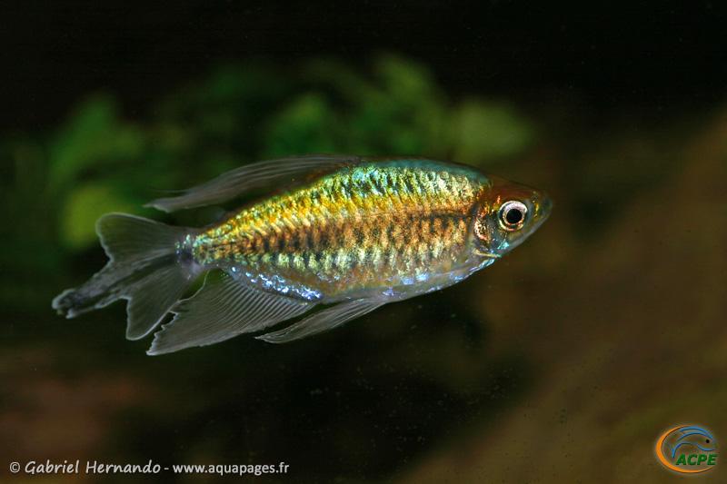Phenacogrammus interruptus (2009) - Alestidae