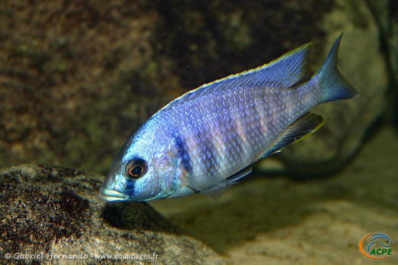 Placidochromis electra Likoma (2005)