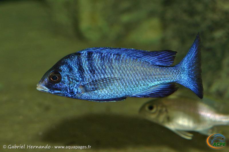 Placidochromis phenochilus Mdoka (2008)