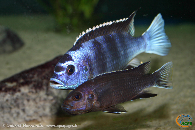 "Pseudotropheus sp. ""acei"" Ngara, couple (2004)"