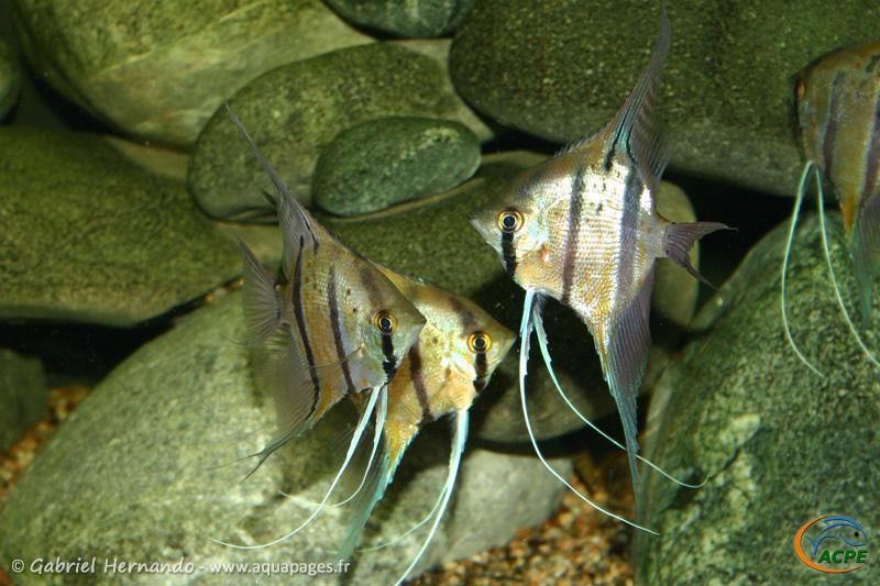 Pterophyllum scalare Pérou (2005) - Cichlidae