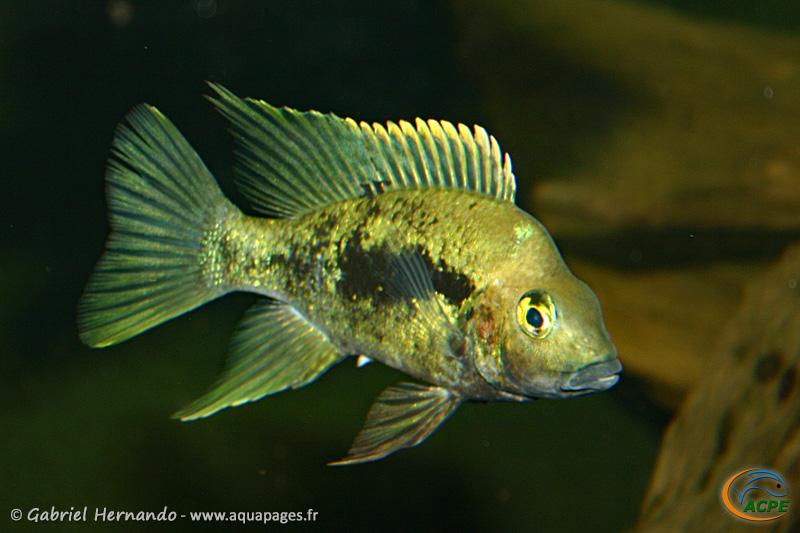 Ptychochromis grandidieri Côte Est (2004) - Cichlidae