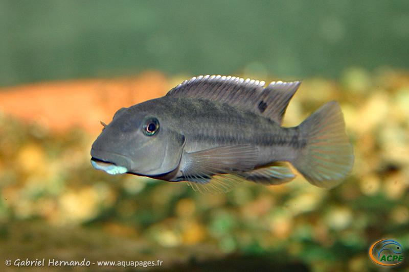 Steatocranus irvinei (2006) - Cichlidae