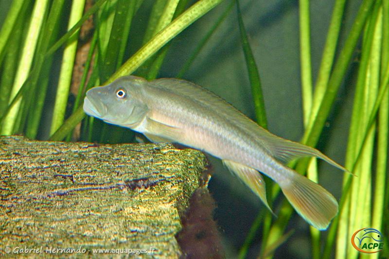 Steatocranus tinanti (2004) - Cichlidae