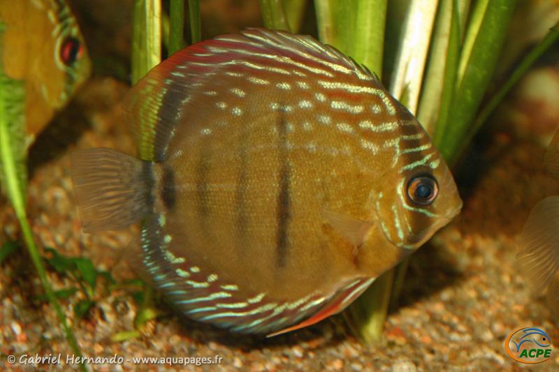 Symphysodon discus du Rio Abacaxis (2006) - Cichlidae