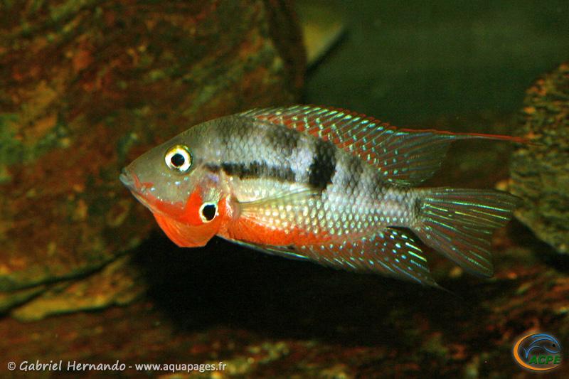 Thorichthys meeki Rio Misol Ha (2008) - Cichlidae