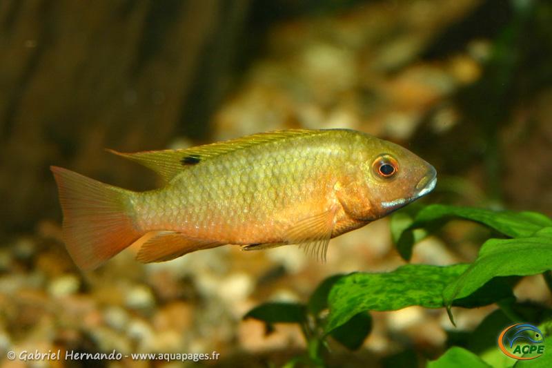 Coptodon snyderae lac Bermin (2004) - Cichlidae