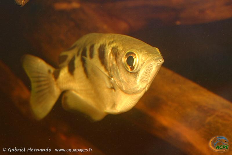 Toxotes jaculatrix (2006) - Toxotidae