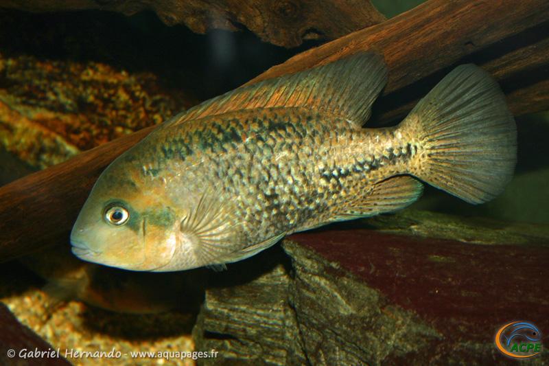 Vieja melanurus (2007) - Cichlidae