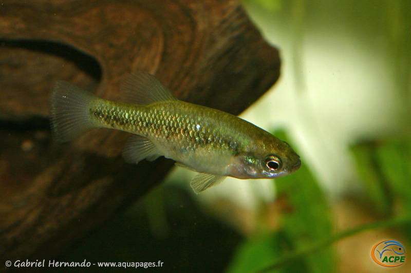 Xenoophorus captivus (2008) -  Goodeidae (vivipares)