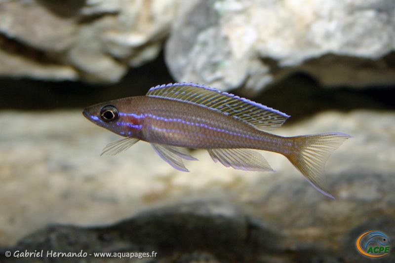 Paracyprichromis nigripinis